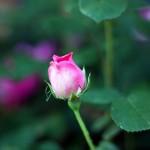 Canon EOS REBEL T1i @ ISO 100, 1/320 sec. 50mm F/1.8. SteveG1949, https://www.flickr.com/photos/45162732@N03/